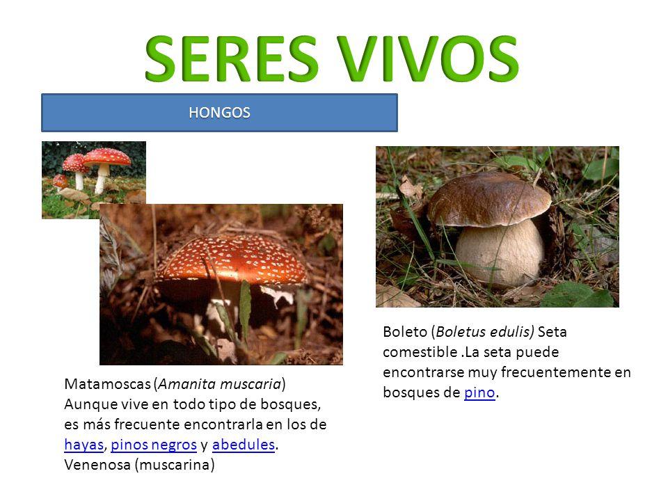 HONGOS Matamoscas (Amanita muscaria) Aunque vive en todo tipo de bosques, es más frecuente encontrarla en los de hayas, pinos negros y abedules. hayas