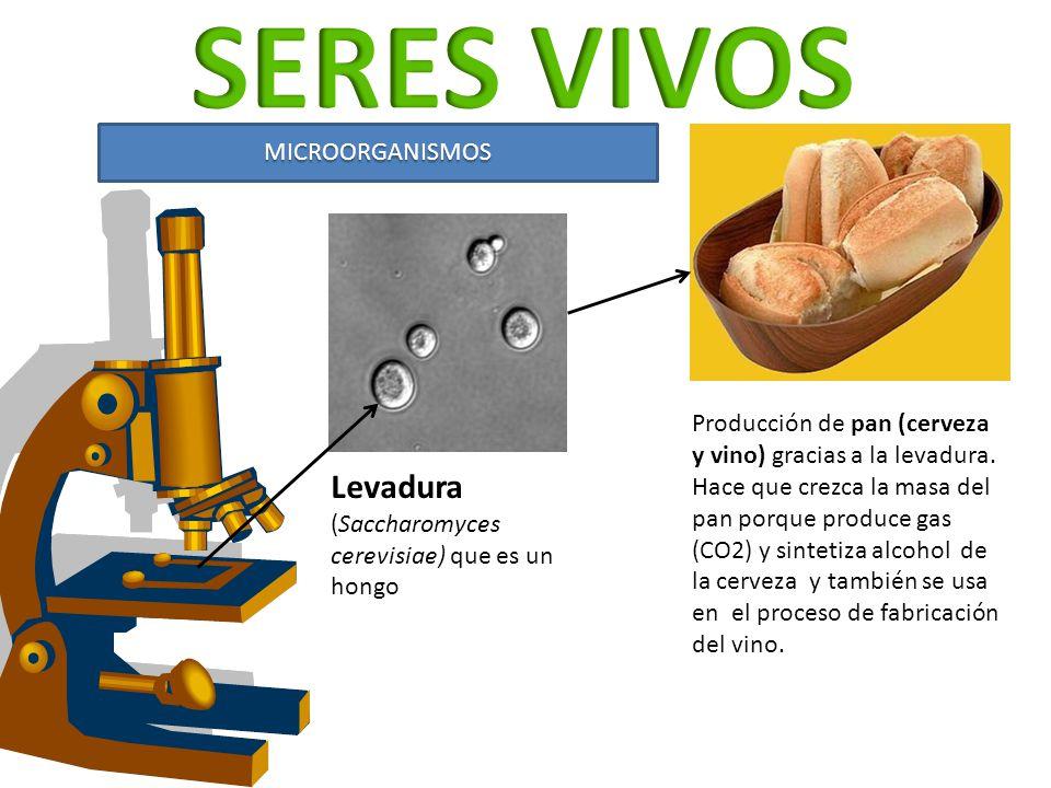 MICROORGANISMOS Levadura (Saccharomyces cerevisiae) que es un hongo Producción de pan (cerveza y vino) gracias a la levadura. Hace que crezca la masa