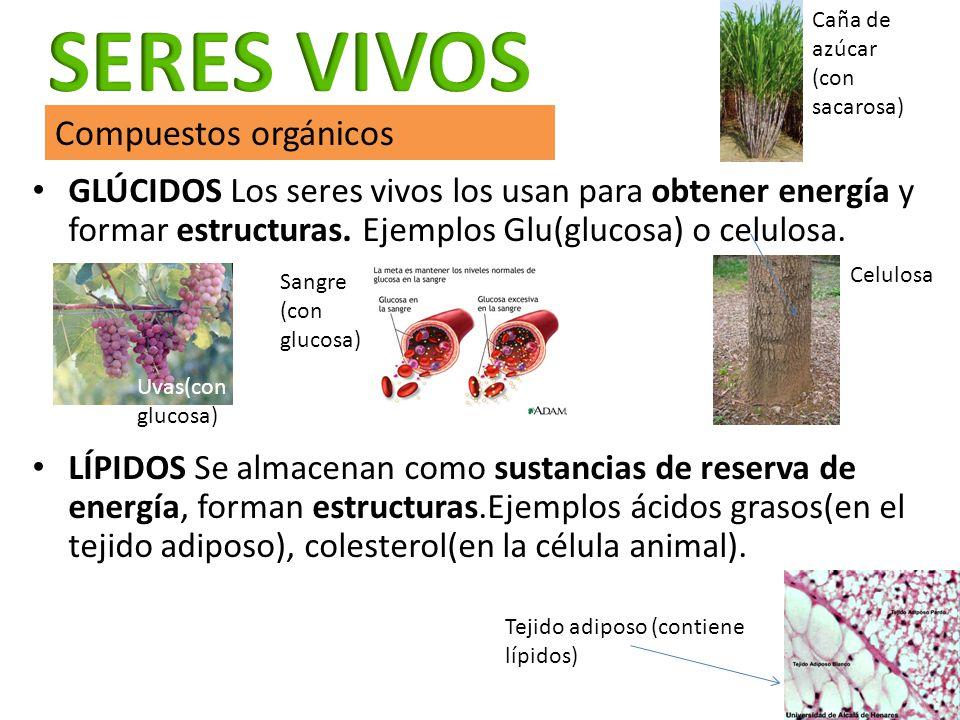 GLÚCIDOS Los seres vivos los usan para obtener energía y formar estructuras. Ejemplos Glu(glucosa) o celulosa. LÍPIDOS Se almacenan como sustancias de