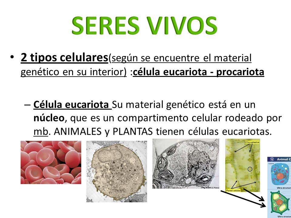 2 tipos celulares (según se encuentre el material genético en su interior) :célula eucariota - procariota – Célula eucariota Su material genético está