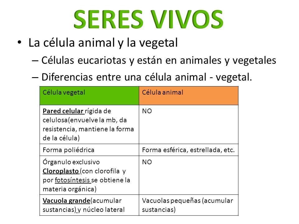 La célula animal y la vegetal – Células eucariotas y están en animales y vegetales – Diferencias entre una célula animal - vegetal. Célula vegetalCélu