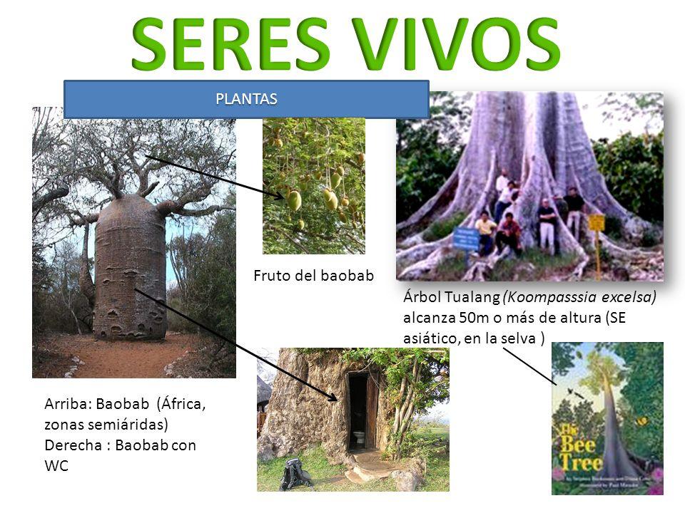 Arriba: Baobab (África, zonas semiáridas) Derecha : Baobab con WC Árbol Tualang (Koompasssia excelsa) alcanza 50m o más de altura (SE asiático, en la