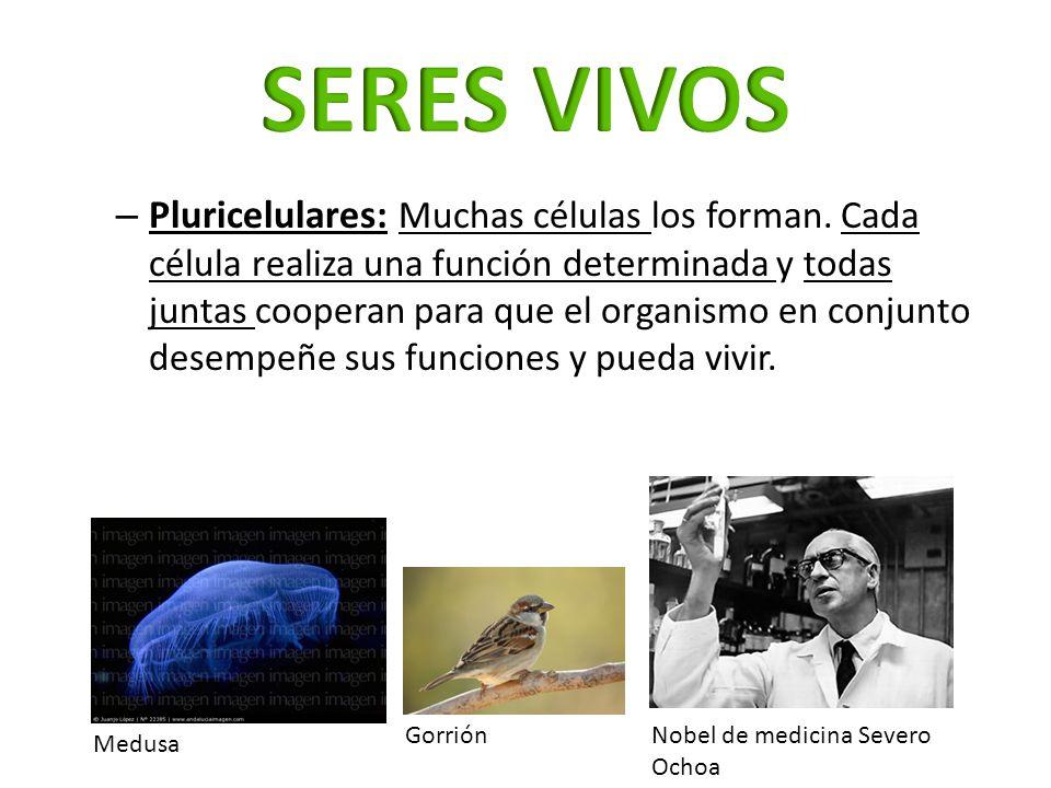 – Pluricelulares: Muchas células los forman. Cada célula realiza una función determinada y todas juntas cooperan para que el organismo en conjunto des