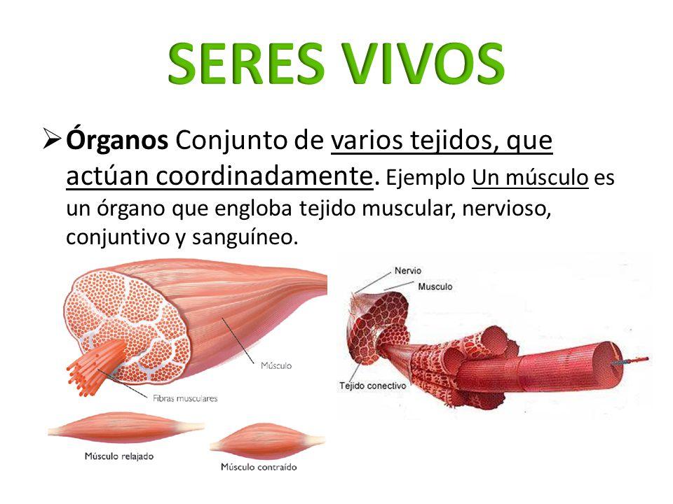 Órganos Conjunto de varios tejidos, que actúan coordinadamente. Ejemplo Un músculo es un órgano que engloba tejido muscular, nervioso, conjuntivo y sa