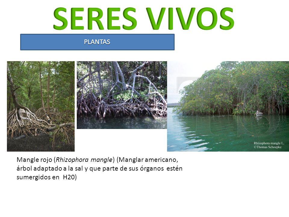PLANTAS Mangle rojo (Rhizophora mangle) (Manglar americano, árbol adaptado a la sal y que parte de sus órganos estén sumergidos en H20)