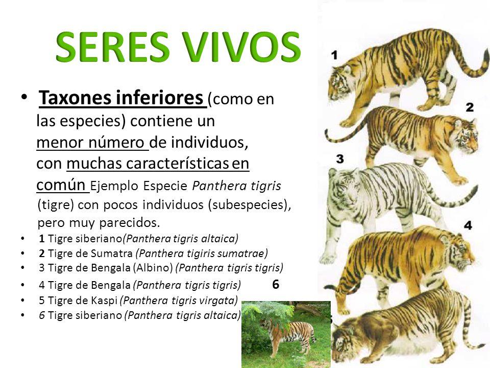 Taxones inferiores (como en las especies) contiene un menor número de individuos, con muchas características en común Ejemplo Especie Panthera tigris