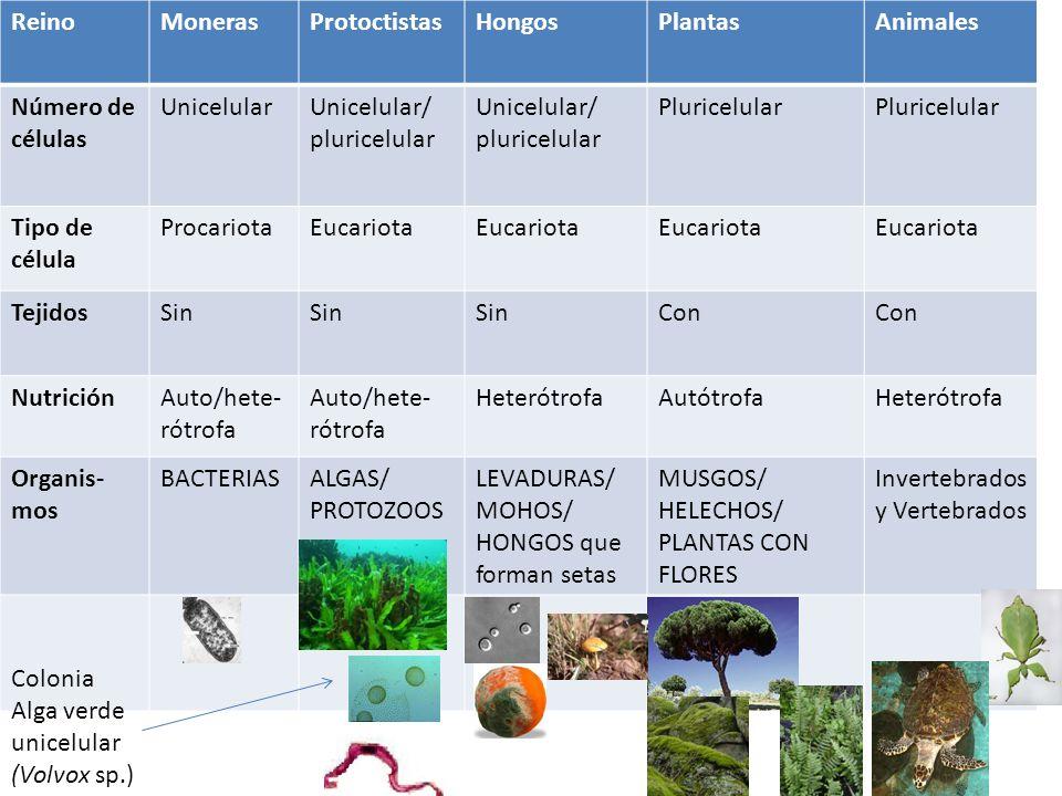 ReinoMonerasProtoctistasHongosPlantasAnimales Número de células UnicelularUnicelular/ pluricelular Unicelular/ pluricelular Pluricelular Tipo de célul