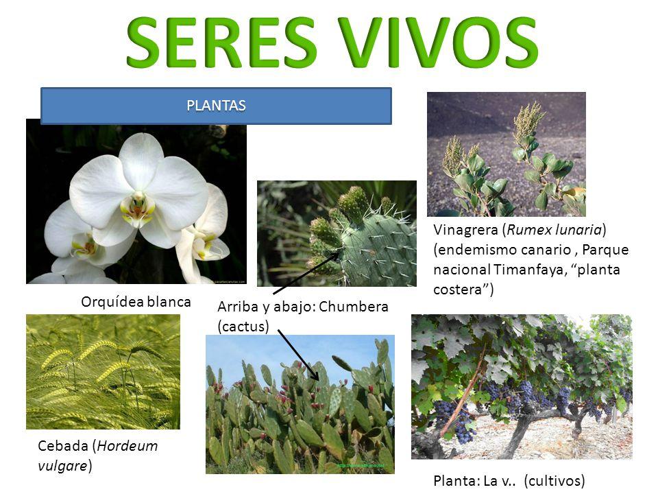 Vinagrera (Rumex lunaria) (endemismo canario, Parque nacional Timanfaya, planta costera) Planta: La v.. (cultivos) Orquídea blanca PLANTAS Cebada (Hor