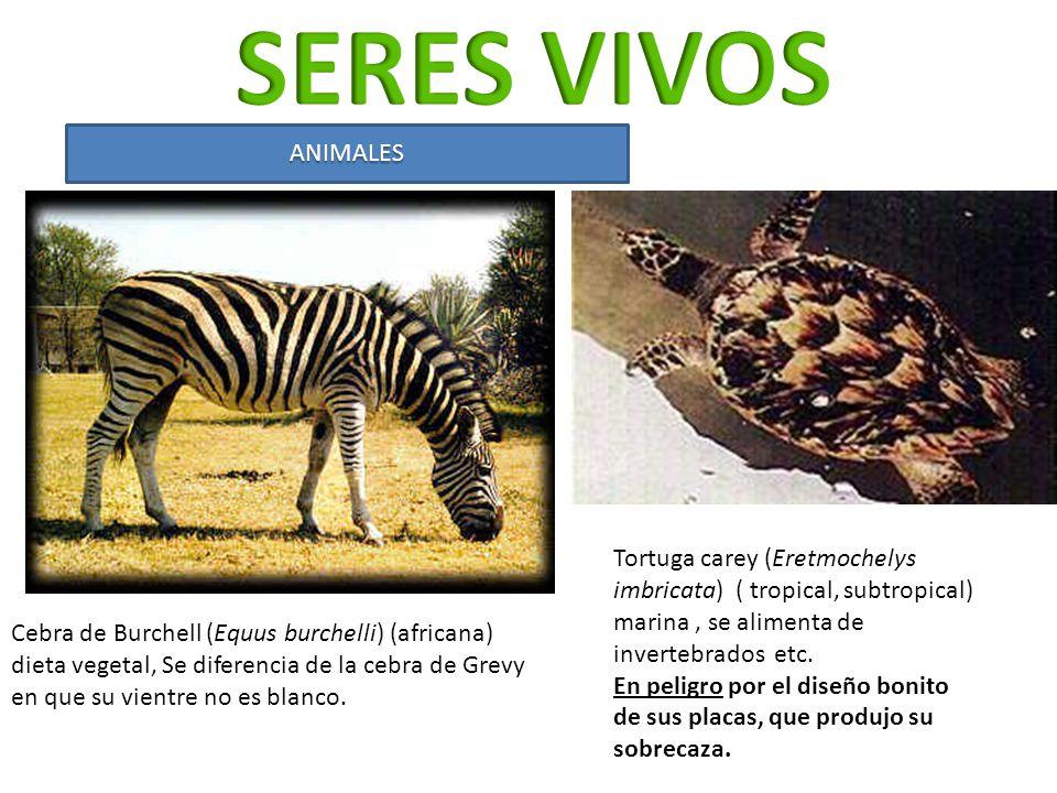 Cebra de Burchell (Equus burchelli) (africana) dieta vegetal, Se diferencia de la cebra de Grevy en que su vientre no es blanco. Tortuga carey (Eretmo