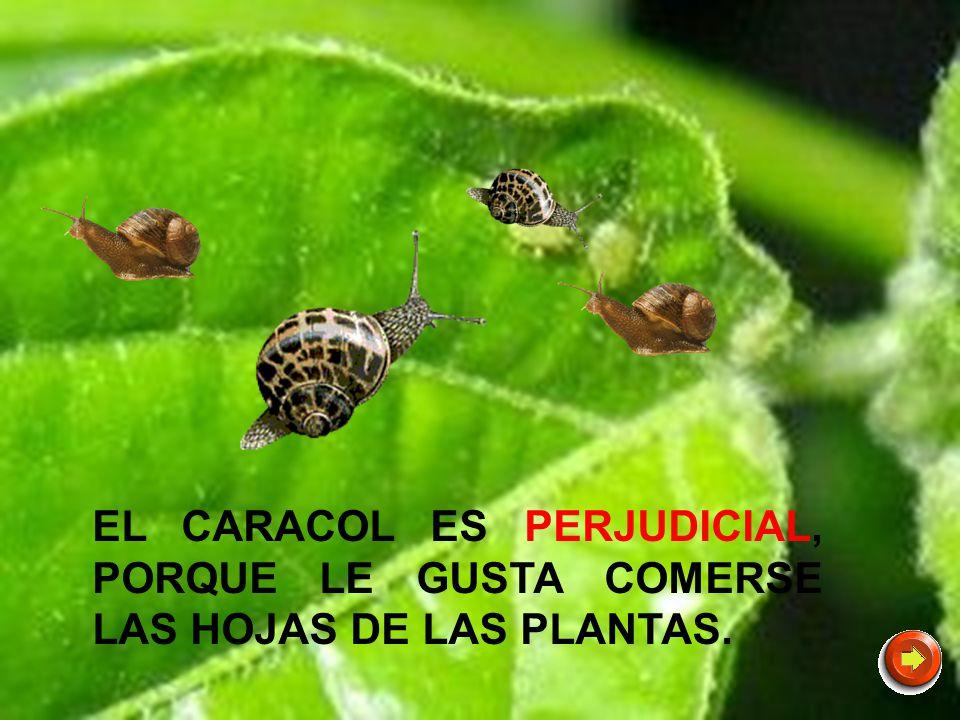 EL CARACOL ES PERJUDICIAL, PORQUE LE GUSTA COMERSE LAS HOJAS DE LAS PLANTAS.