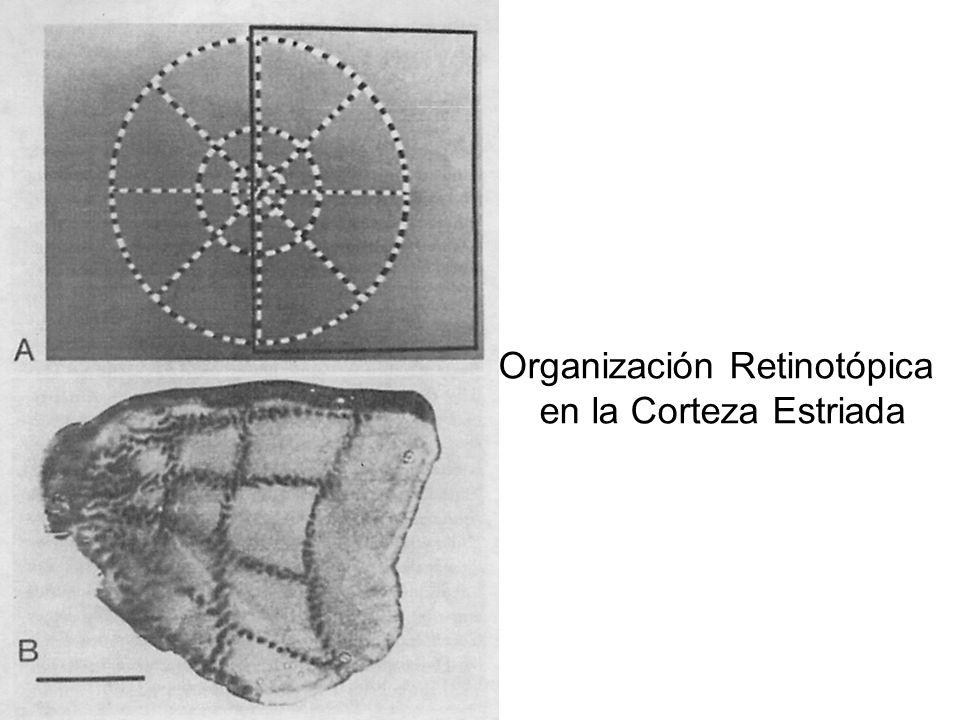 Organización Retinotópica en la Corteza Estriada