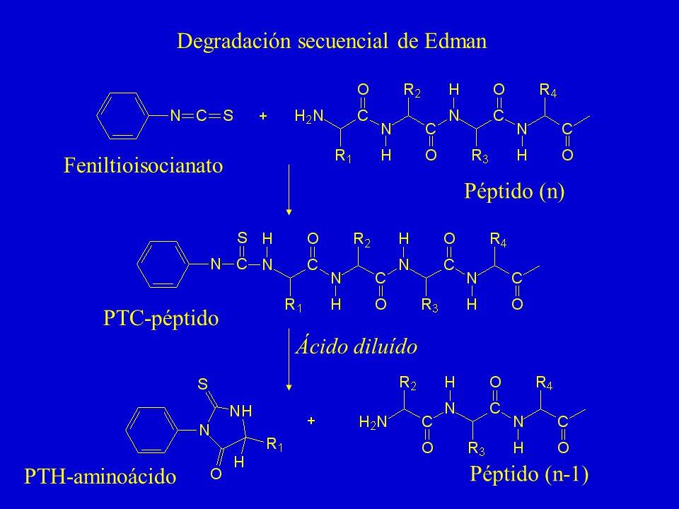 Degradación secuencial de Edman Ácido diluído Feniltioisocianato PTC-péptido PTH-aminoácido Péptido (n) Péptido (n-1)