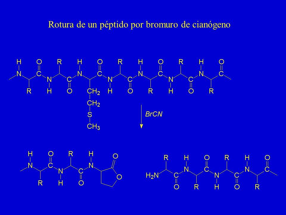 Rotura de un péptido por bromuro de cianógeno