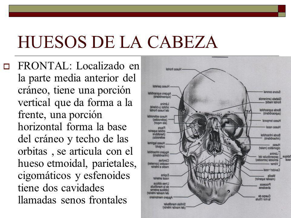 HUESOS DE LA CABEZA FRONTAL: Localizado en la parte media anterior del cráneo, tiene una porción vertical que da forma a la frente, una porción horizontal forma la base del cráneo y techo de las orbitas, se articula con el hueso etmoidal, parietales, cigomáticos y esfenoides tiene dos cavidades llamadas senos frontales