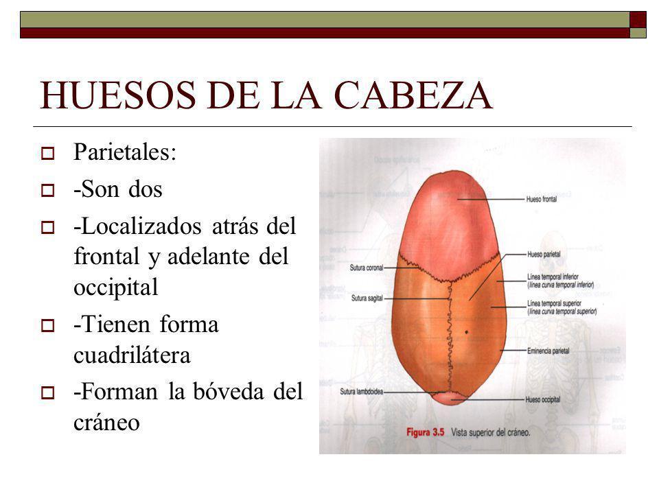 HUESOS DE LA CABEZA Parietales: -Son dos -Localizados atrás del frontal y adelante del occipital -Tienen forma cuadrilátera -Forman la bóveda del cráneo