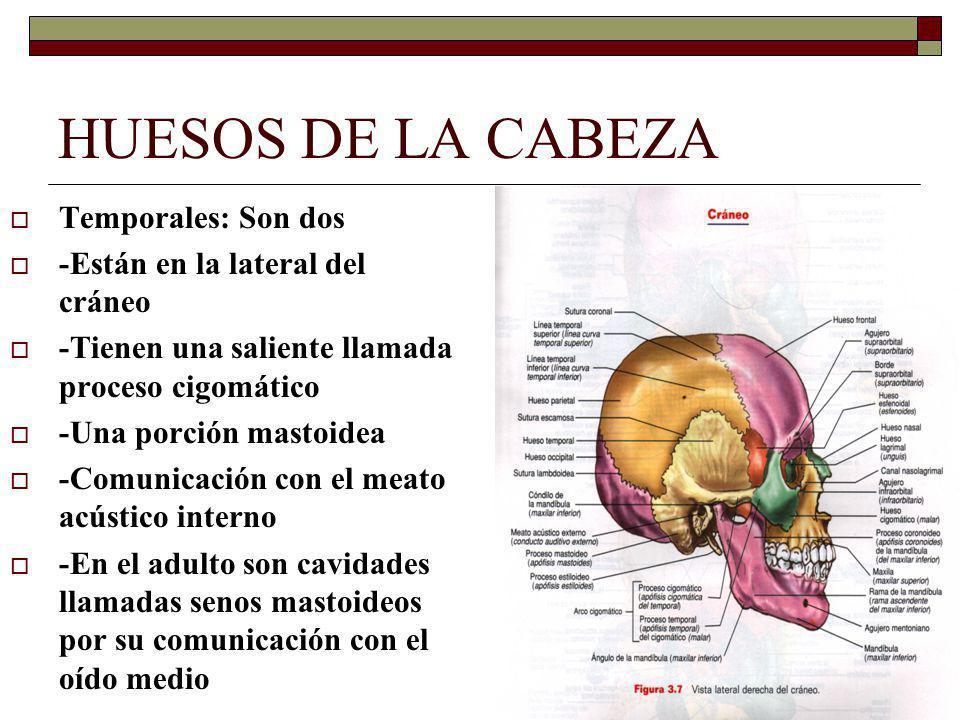 HUESOS DE LA CABEZA Temporales: Son dos -Están en la lateral del cráneo -Tienen una saliente llamada proceso cigomático -Una porción mastoidea -Comunicación con el meato acústico interno -En el adulto son cavidades llamadas senos mastoideos por su comunicación con el oído medio