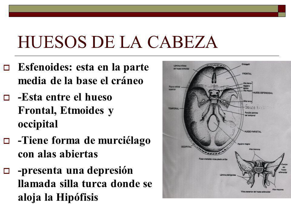 HUESOS DE LA CABEZA Esfenoides: esta en la parte media de la base el cráneo -Esta entre el hueso Frontal, Etmoides y occipital -Tiene forma de murciélago con alas abiertas -presenta una depresión llamada silla turca donde se aloja la Hipófisis