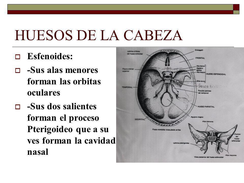 HUESOS DE LA CABEZA Esfenoides: -Sus alas menores forman las orbitas oculares -Sus dos salientes forman el proceso Pterigoideo que a su ves forman la cavidad nasal