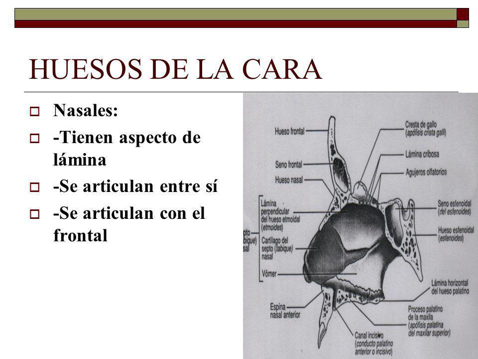 HUESOS DE LA CARA Nasales: -Tienen aspecto de lámina -Se articulan entre sí -Se articulan con el frontal