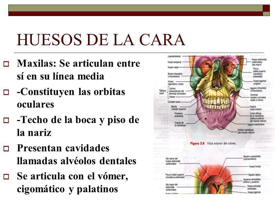 HUESOS DE LA CARA Maxilas: Se articulan entre sí en su línea media -Constituyen las orbitas oculares -Techo de la boca y piso de la nariz Presentan cavidades llamadas alvéolos dentales Se articula con el vómer, cigomático y palatinos