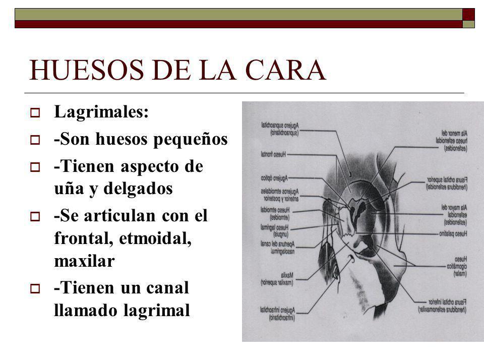 HUESOS DE LA CARA Lagrimales: -Son huesos pequeños -Tienen aspecto de uña y delgados -Se articulan con el frontal, etmoidal, maxilar -Tienen un canal llamado lagrimal