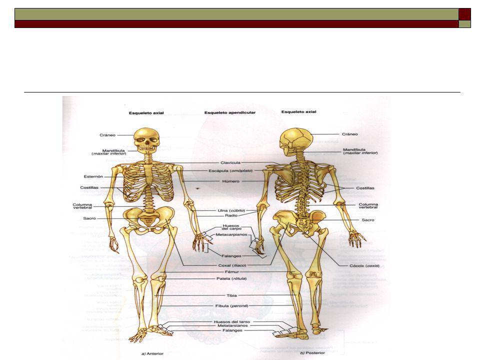 HUESOS DE LA CARA Mandíbula: Esta en la parte inferior de la cara -Tiene forma de herradura -Presenta una porción media ó cuerpo -2 Porciones verticales que terminan en salientes -tienen un cóndilo y proceso coronoideo que se articula con el temporal Tiene cavidades alveolares