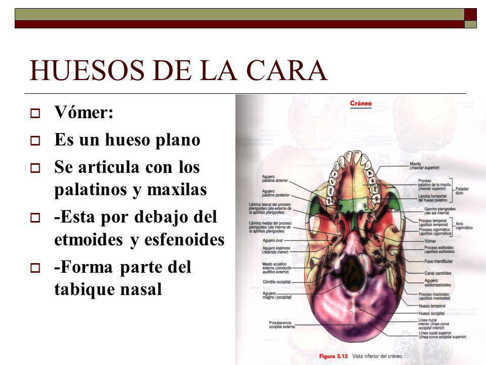 HUESOS DE LA CARA Vómer: Es un hueso plano Se articula con los palatinos y maxilas -Esta por debajo del etmoides y esfenoides -Forma parte del tabique nasal