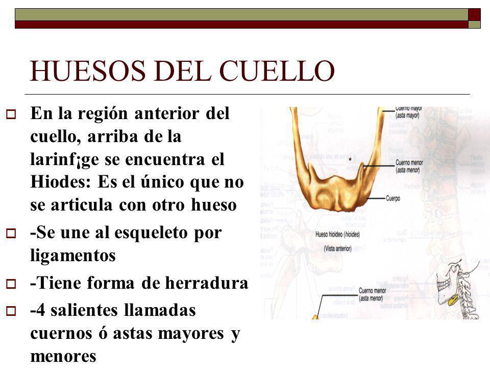 HUESOS DEL CUELLO En la región anterior del cuello, arriba de la larinf¡ge se encuentra el Hiodes: Es el único que no se articula con otro hueso -Se une al esqueleto por ligamentos -Tiene forma de herradura -4 salientes llamadas cuernos ó astas mayores y menores