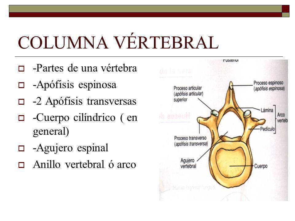 COLUMNA VÉRTEBRAL -Partes de una vértebra -Apófisis espinosa -2 Apófisis transversas -Cuerpo cilíndrico ( en general) -Agujero espinal Anillo vertebral ó arco