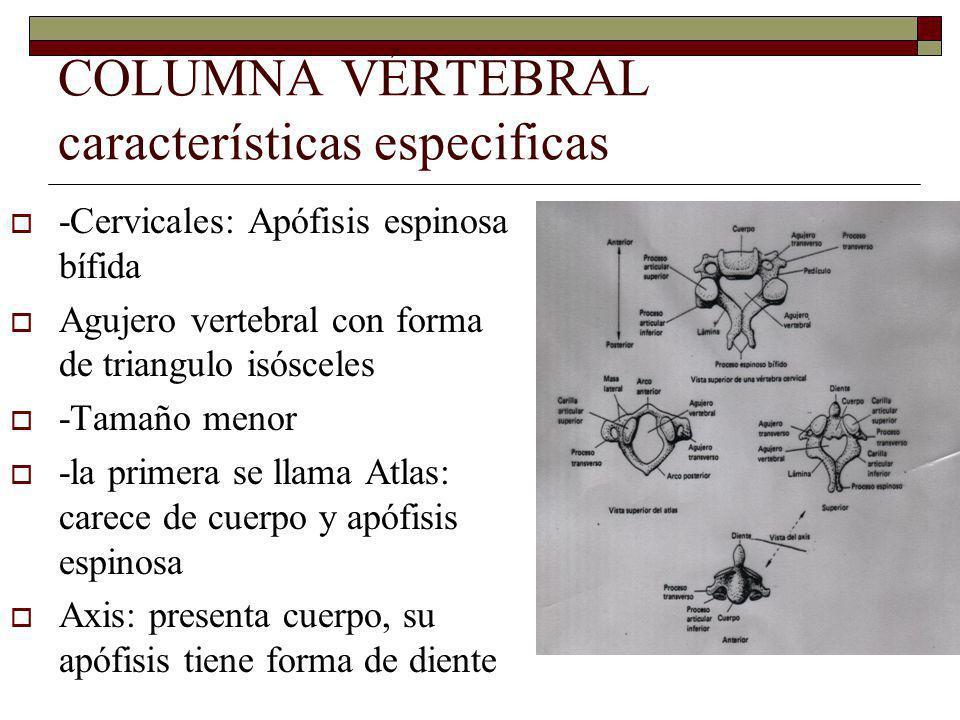 COLUMNA VÉRTEBRAL características especificas -Cervicales: Apófisis espinosa bífida Agujero vertebral con forma de triangulo isósceles -Tamaño menor -la primera se llama Atlas: carece de cuerpo y apófisis espinosa Axis: presenta cuerpo, su apófisis tiene forma de diente