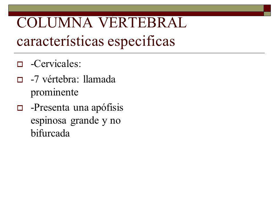 COLUMNA VÉRTEBRAL características especificas -Cervicales: -7 vértebra: llamada prominente -Presenta una apófisis espinosa grande y no bifurcada