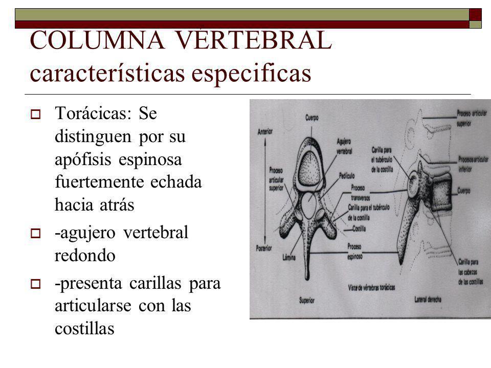 COLUMNA VÉRTEBRAL características especificas Torácicas: Se distinguen por su apófisis espinosa fuertemente echada hacia atrás -agujero vertebral redondo -presenta carillas para articularse con las costillas