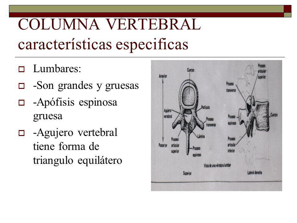 COLUMNA VÉRTEBRAL características especificas Lumbares: -Son grandes y gruesas -Apófisis espinosa gruesa -Agujero vertebral tiene forma de triangulo equilátero
