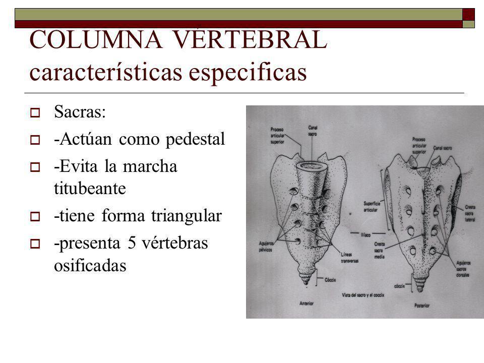 COLUMNA VÉRTEBRAL características especificas Sacras: -Actúan como pedestal -Evita la marcha titubeante -tiene forma triangular -presenta 5 vértebras osificadas