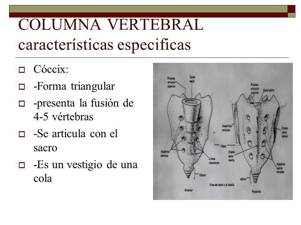 COLUMNA VÉRTEBRAL características especificas Cóccix: -Forma triangular -presenta la fusión de 4-5 vértebras -Se articula con el sacro -Es un vestigio de una cola