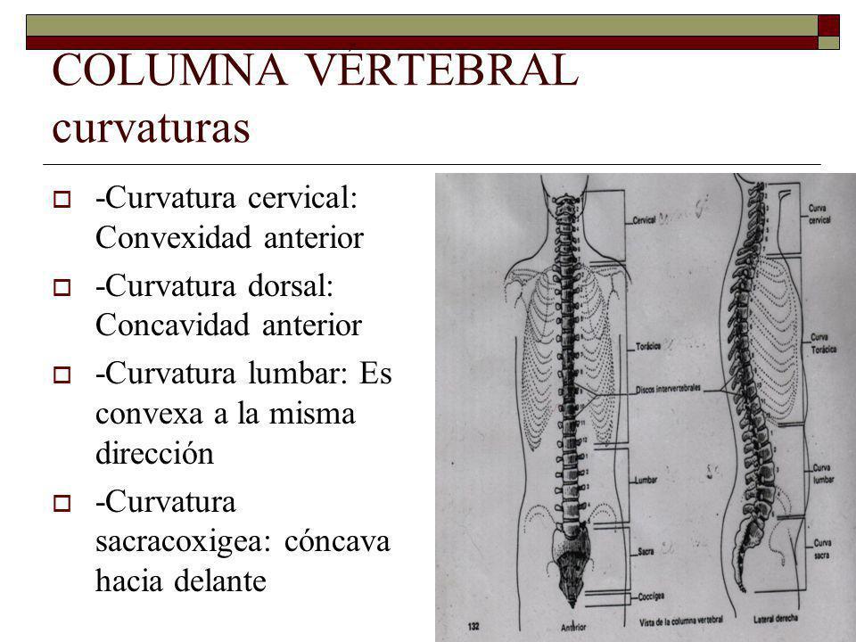 COLUMNA VÉRTEBRAL curvaturas -Curvatura cervical: Convexidad anterior -Curvatura dorsal: Concavidad anterior -Curvatura lumbar: Es convexa a la misma dirección -Curvatura sacracoxigea: cóncava hacia delante
