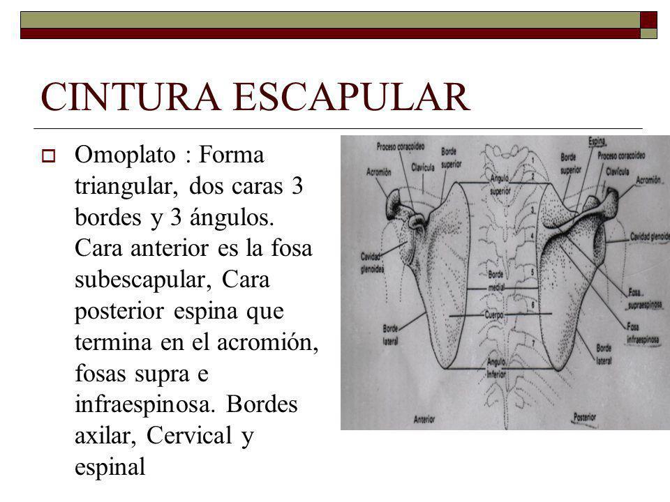 CINTURA ESCAPULAR Omoplato : Forma triangular, dos caras 3 bordes y 3 ángulos.