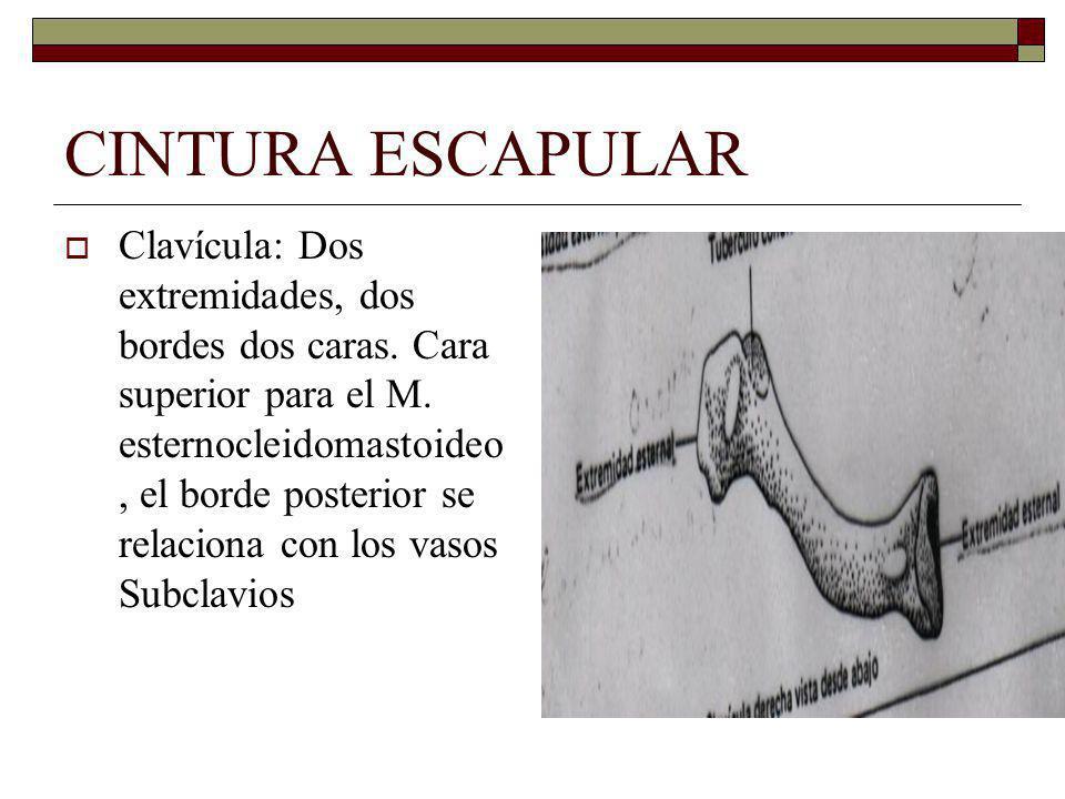 CINTURA ESCAPULAR Clavícula: Dos extremidades, dos bordes dos caras.