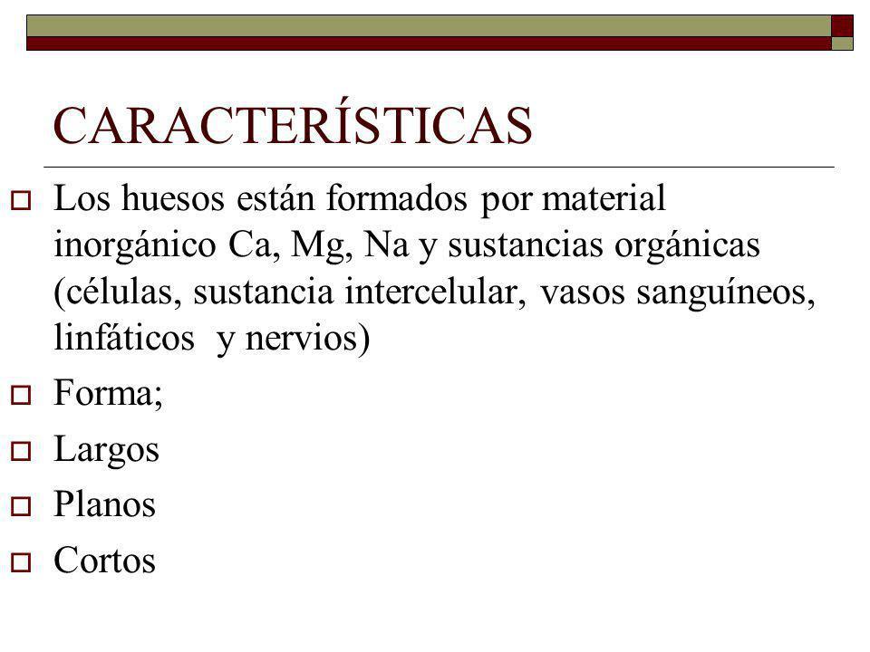 CARACTERÍSTICAS Los huesos están formados por material inorgánico Ca, Mg, Na y sustancias orgánicas (células, sustancia intercelular, vasos sanguíneos, linfáticos y nervios) Forma; Largos Planos Cortos