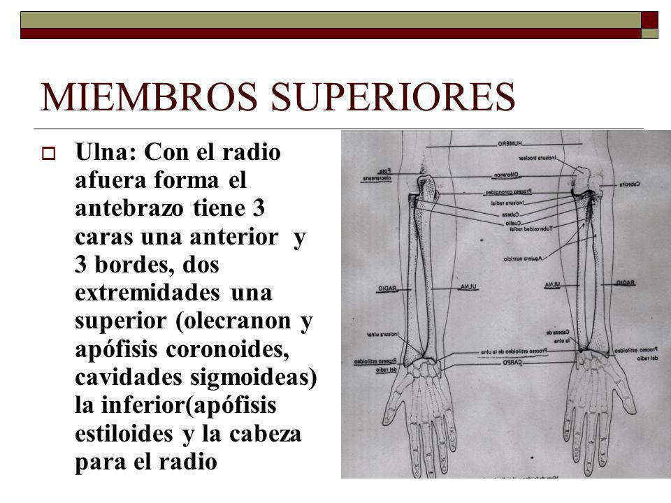 MIEMBROS SUPERIORES Ulna: Con el radio afuera forma el antebrazo tiene 3 caras una anterior y 3 bordes, dos extremidades una superior (olecranon y apófisis coronoides, cavidades sigmoideas) la inferior(apófisis estiloides y la cabeza para el radio