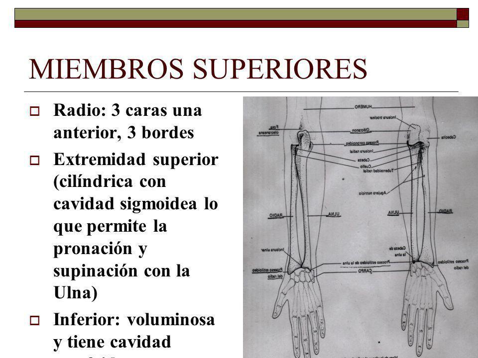MIEMBROS SUPERIORES Radio: 3 caras una anterior, 3 bordes Extremidad superior (cilíndrica con cavidad sigmoidea lo que permite la pronación y supinación con la Ulna) Inferior: voluminosa y tiene cavidad escafoidea