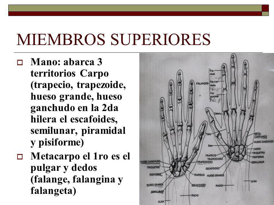 MIEMBROS SUPERIORES Mano: abarca 3 territorios Carpo (trapecio, trapezoide, hueso grande, hueso ganchudo en la 2da hilera el escafoides, semilunar, piramidal y pisiforme) Metacarpo el 1ro es el pulgar y dedos (falange, falangina y falangeta)