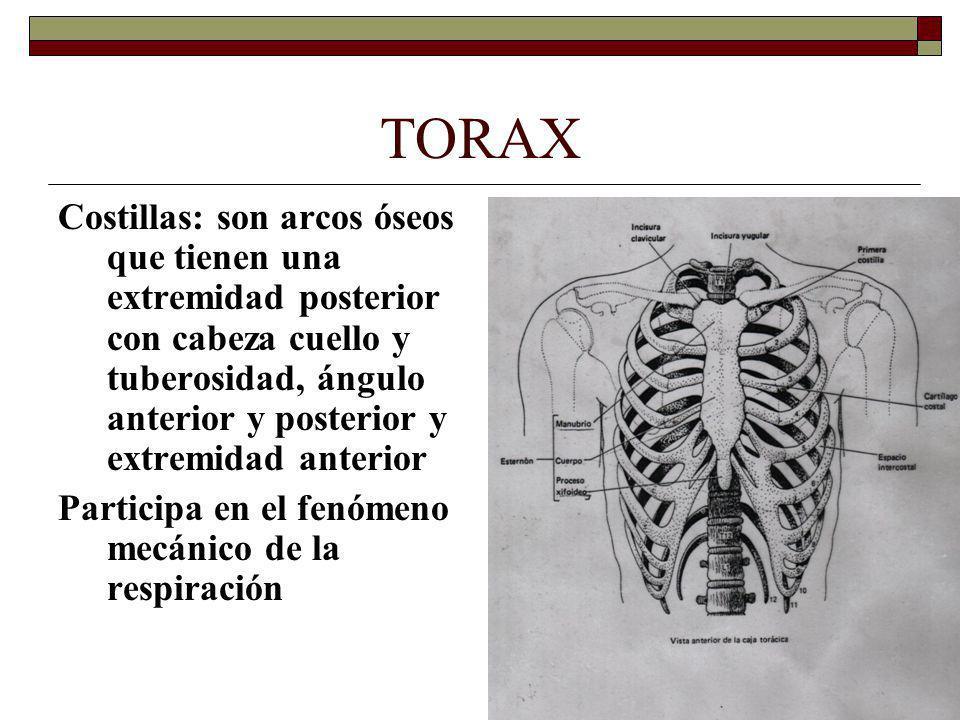 TORAX Costillas: son arcos óseos que tienen una extremidad posterior con cabeza cuello y tuberosidad, ángulo anterior y posterior y extremidad anterior Participa en el fenómeno mecánico de la respiración