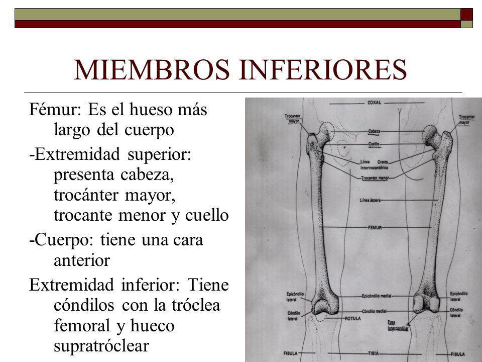 MIEMBROS INFERIORES Fémur: Es el hueso más largo del cuerpo -Extremidad superior: presenta cabeza, trocánter mayor, trocante menor y cuello -Cuerpo: tiene una cara anterior Extremidad inferior: Tiene cóndilos con la tróclea femoral y hueco supratróclear