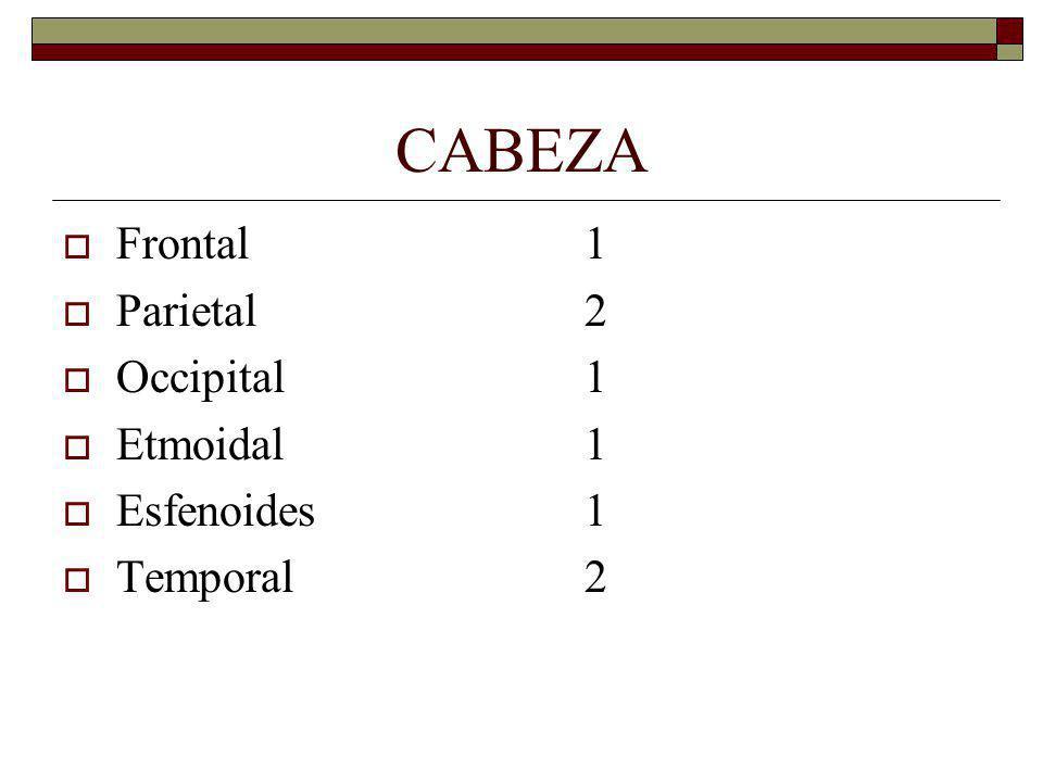CABEZA Frontal1 Parietal2 Occipital1 Etmoidal1 Esfenoides1 Temporal2
