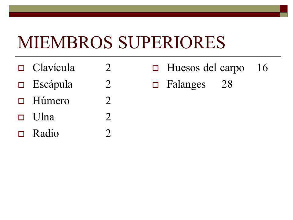 MIEMBROS SUPERIORES Clavícula2 Escápula2 Húmero2 Ulna2 Radio2 Huesos del carpo 16 Falanges 28