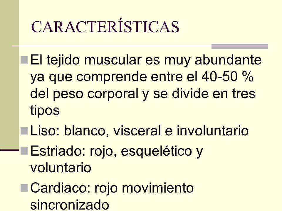 CARACTERÍSTICAS El tejido muscular es muy abundante ya que comprende entre el 40-50 % del peso corporal y se divide en tres tipos Liso: blanco, viscer
