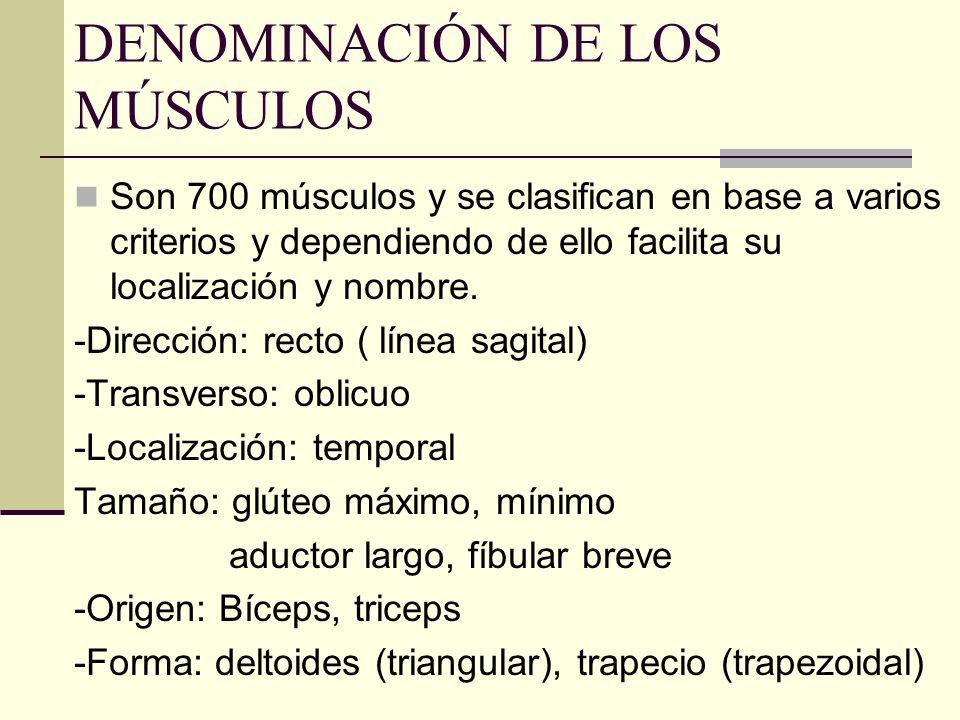 DENOMINACIÓN DE LOS MÚSCULOS Son 700 músculos y se clasifican en base a varios criterios y dependiendo de ello facilita su localización y nombre. -Dir