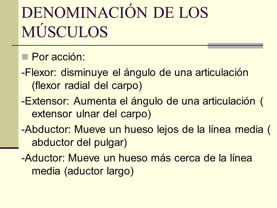 DENOMINACIÓN DE LOS MÚSCULOS Por acción: -Flexor: disminuye el ángulo de una articulación (flexor radial del carpo) -Extensor: Aumenta el ángulo de un