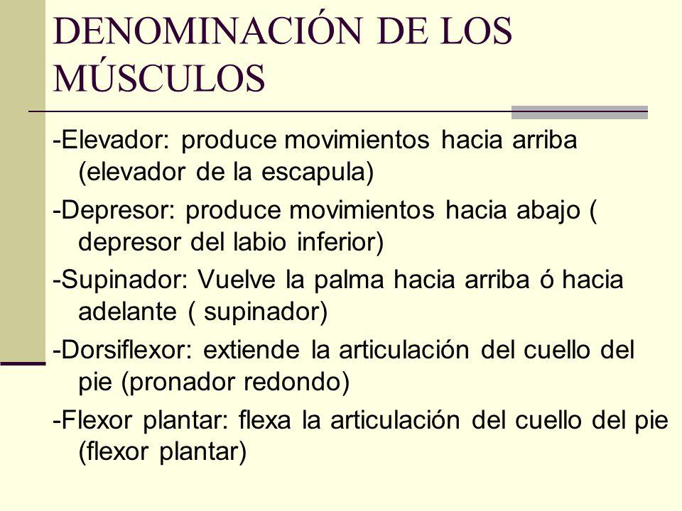 DENOMINACIÓN DE LOS MÚSCULOS -Elevador: produce movimientos hacia arriba (elevador de la escapula) -Depresor: produce movimientos hacia abajo ( depres